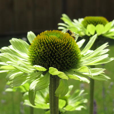Rode zonnehoed - Echinacea purpurea 'Green Jewel'