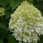 Hydrangea paniculata 'Grandiflora' - Pluimhortensia / Schapenkoppen - Hydrangea paniculata 'Grandiflora'