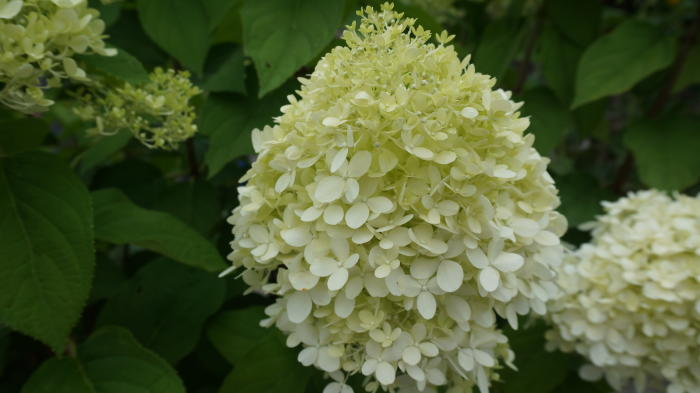 pluimhortensia schapenkoppen hydrangea paniculata. Black Bedroom Furniture Sets. Home Design Ideas