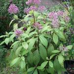 Fuchsia paniculata - Fuchsia paniculata - Pluimfuchsia