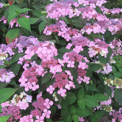 Hydrangea serrata 'Isusai jaku' -
