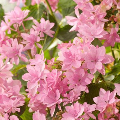 Hydrangea macrophylla YOU&ME® 'Romance' -