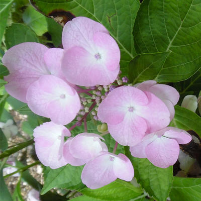 Hydrangea Macrophylla 'Sweet Dreams' -