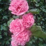Alcea rosea 'Pleniflora' - Stokroos - Alcea rosea 'Pleniflora'