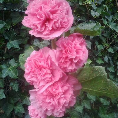 Alcea rosea 'Pleniflora' -