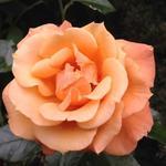 Rosa 'Gloria van Groengilde' -