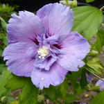 Hibiscus syriacus 'Blue CHIFFON' - Altheastruik - Hibiscus syriacus 'Blue CHIFFON'