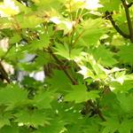 Acer shirasawanum 'Aureum' - Gele esdoorn