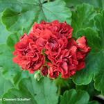 Pelargonium 'Diemierii Schafferi' -