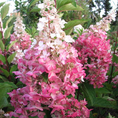 Hydrangea paniculata 'Pinky Winky'  -