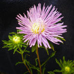 Callistephus chinensis  - Chinese aster, Zomeraster, Reinmargriet