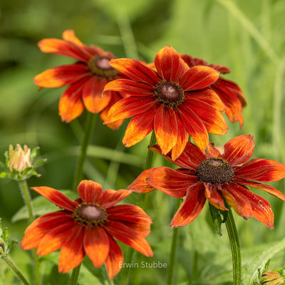 Rudbeckia hirta 'Autumn Colours' -