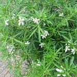 Choisya ternata 'White Dazzler' - Glansmispel - Choisya ternata 'White Dazzler'