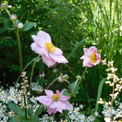 Anemone hupehensis -