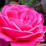 Rosa  'Rosarium Uetersen' - Roos, Klimroos - Rosa  'Rosarium Uetersen'