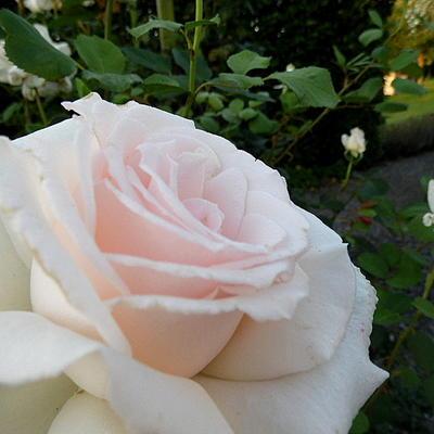 Rosa 'Helena Renaissance' -