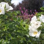 Rosa rugosa 'Alba' - Bottelroos - Rosa rugosa 'Alba'