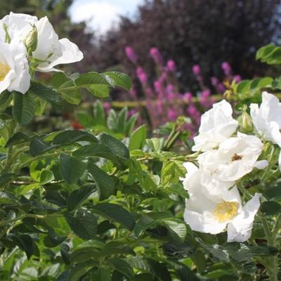 Rosa rugosa 'Alba' -