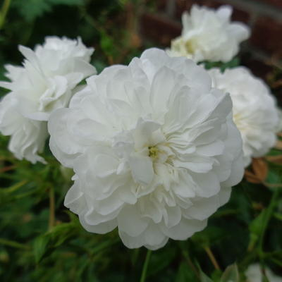 Rosa  'White Fairy' - Roos