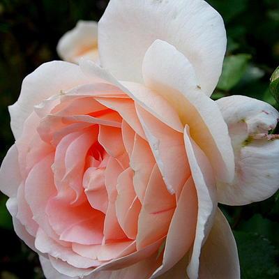 Rosa 'Amaretto' -