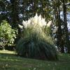 Cortaderia selloana - Pampasgras