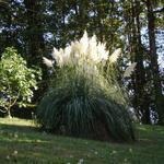 Cortaderia selloana - Pampasgras - Cortaderia selloana