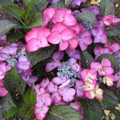 Hydrangea  macrophylla BLACK DIAMONDS 'Baroque Angel Blue' -
