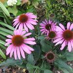 Echinacea ' MOOODZ Awake' - Echinacea ' MOOODZ Awake' - Rode zonnehoed