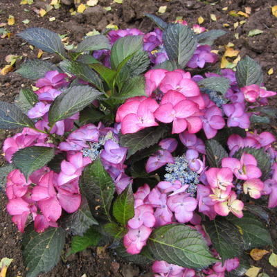 Hydrangea macrophylla BLACK DIAMONDS 'Dark Angel violet' -