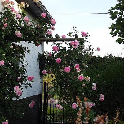 Rosa 'Pierre de Ronsard' -