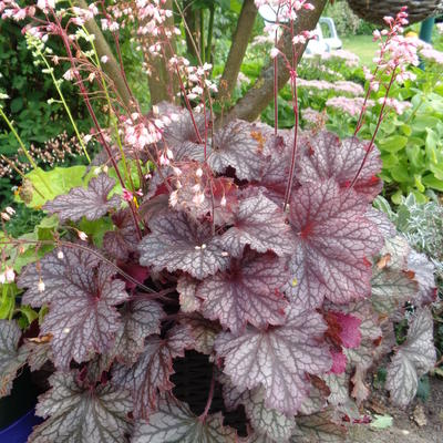 Heuchera LITTLE CUTIE 'Ginger Snap' -