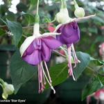 Fuchsia 'Star Eyes' - Bellenplant