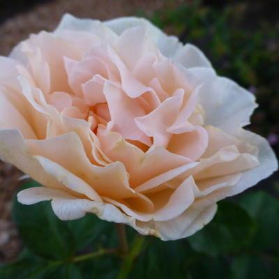 Rosa 'Fisser Chiardina'  -