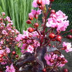 Lagerstroemia indica 'Rhapsody in Pink' - Indische sering