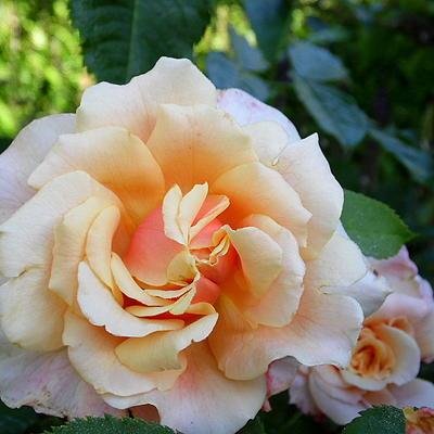 Rosa 'Caramella' -