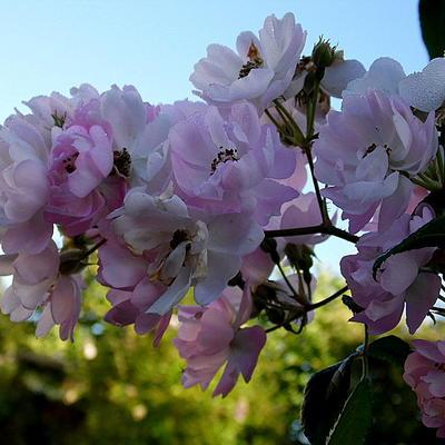 Rosa 'Caroline's Blush' -