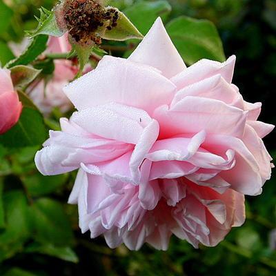 Rosa 'Awakening' -