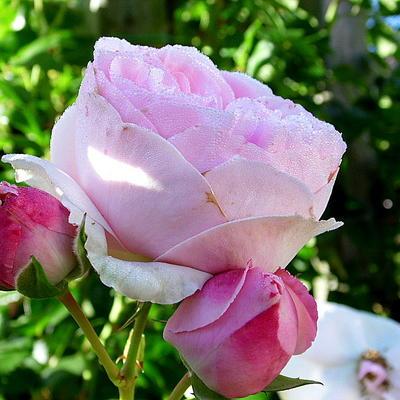 Rosa 'Heritage' -