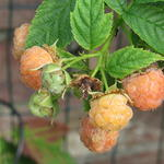 Rubus idaeus 'Golden Everest' - Gele framboos, Herfstframboos - Rubus idaeus 'Golden Everest'