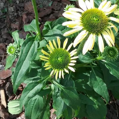 Echinacea 'MOOODZ Shiny' -
