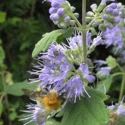 Caryopteris x clandonensis 'Heavenly Blue' - Blauwe spirea/Baardbloem - Caryopteris x clandonensis 'Heavenly Blue'