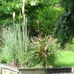 Cortaderia selloana 'Senior' - Pampasgras - Cortaderia selloana 'Senior'