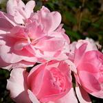 Roos - Rosa 'Bonica'
