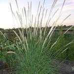 Lampenpoetsersgras - Pennisetum macrourum
