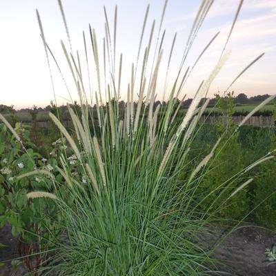 Pennisetum macrourum - Lampenpoetsersgras - Pennisetum macrourum
