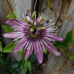 Passiflora x violacea 'Victoria' - Passiflora x violacea 'Victoria' - Passiebloem