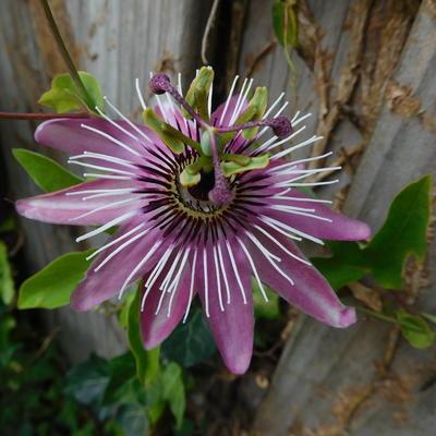 Passiflora x violacea 'Victoria' -