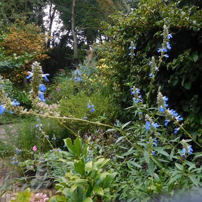 Salvia uliginosa - Salie, moerassalie - Salvia uliginosa