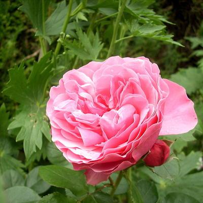 Rosa 'Léonard de Vinci'  -