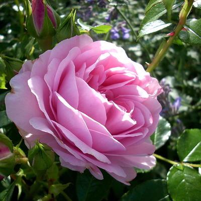 Rosa 'Rosenfee' -
